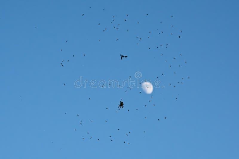 Silueta de la araña que se sienta en web por completo de moscas en el cielo azul con la luna fotos de archivo
