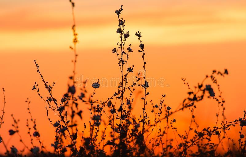 Silueta de la hierba en una puesta del sol de oro foto de archivo