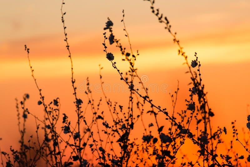 Silueta de la hierba en una puesta del sol de oro fotografía de archivo
