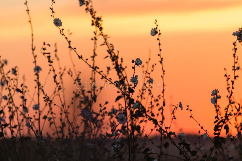 Silueta de la hierba en una puesta del sol de oro imagenes de archivo