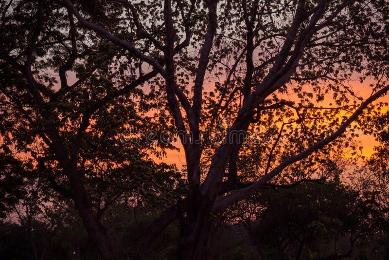 Silueta de la lengua del árbol de los lebbeckSiris del Albizia, del ` s de la mujer, árboles del lebbeck de la mimosa y cielo cre fotos de archivo