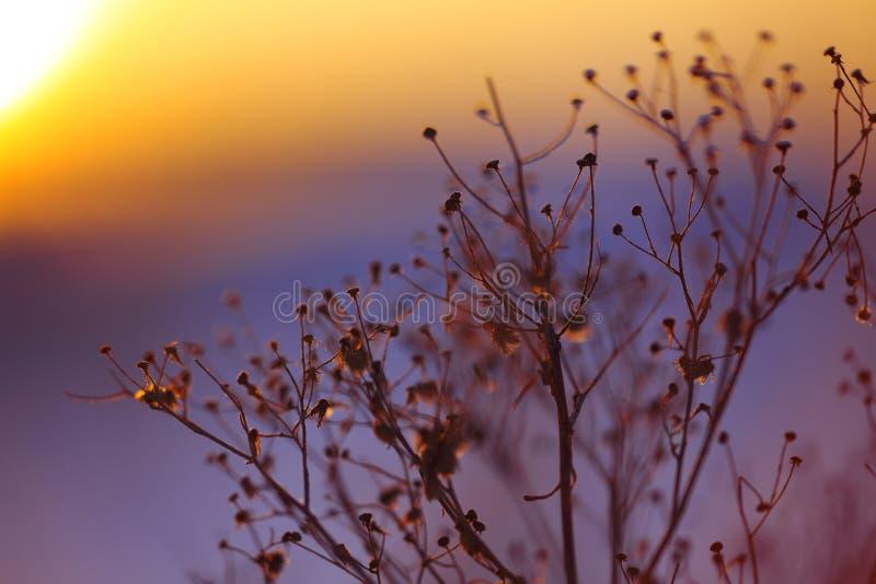 Silueta de la planta del invierno en la puesta del sol fotografía de archivo