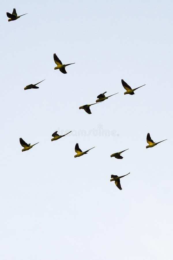 Silueta de los loros verdes srilanqueses que vuelan junto foto de archivo