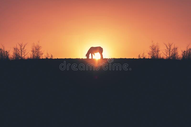 Silueta de oro del caballo de la puesta del sol fotografía de archivo libre de regalías