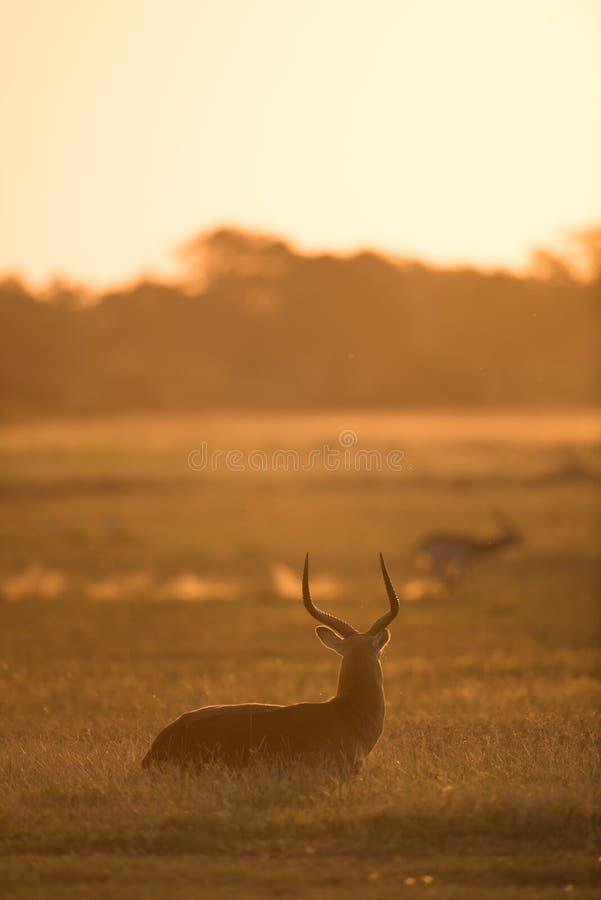 Silueta de oro de la salida del sol del lechwe fotografía de archivo