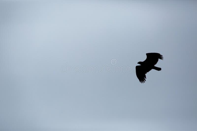 Silueta de un águila foto de archivo
