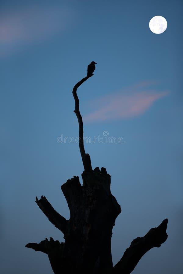 Silueta de un cuervo encaramado en un árbol en la noche imagenes de archivo