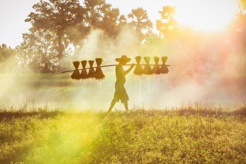Silueta de un granjero asiático con semilleros de arroz para plantar, granjero asiático con semilleros de arroz imagenes de archivo