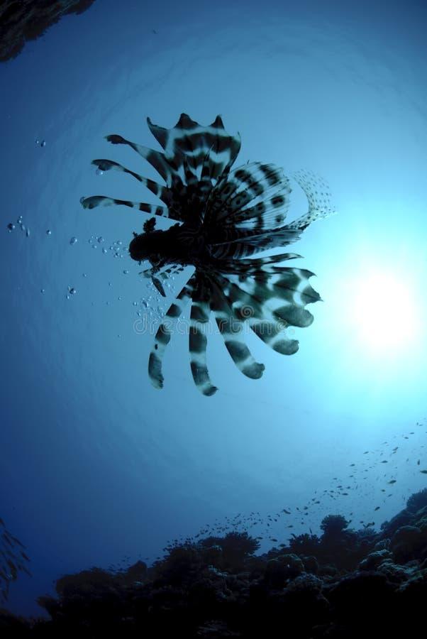Silueta de un lionfish fotografía de archivo