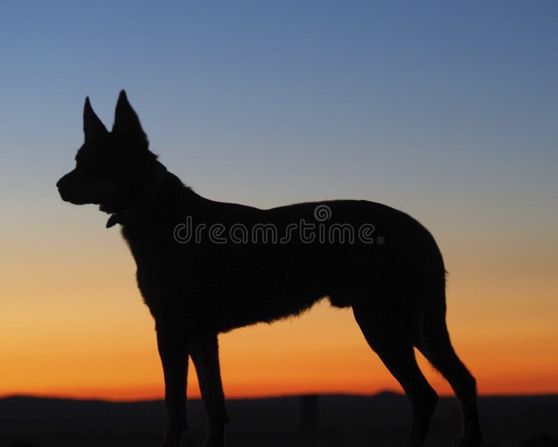 Silueta de un perro australiano del Kelpie fotos de archivo libres de regalías