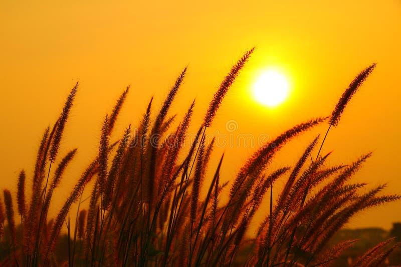 Flor de la hierba de fuente contra una puesta del sol imágenes de archivo libres de regalías