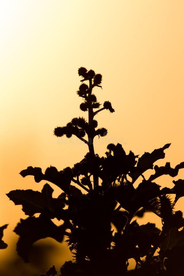 Silueta de una planta en una puesta del sol de oro fotografía de archivo libre de regalías