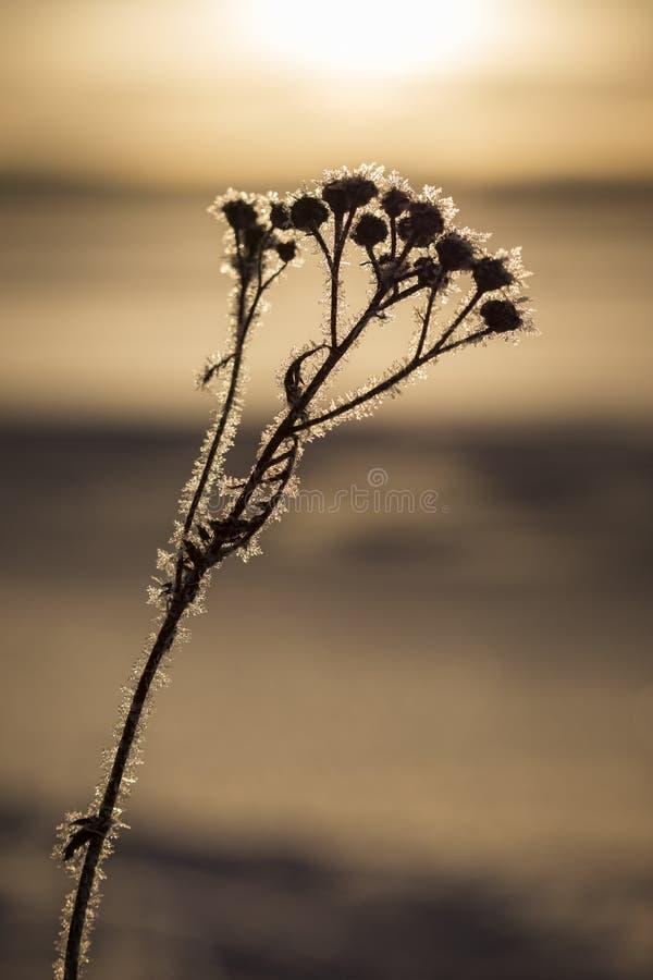 Silueta de una planta escarchada en el invierno fotografía de archivo libre de regalías