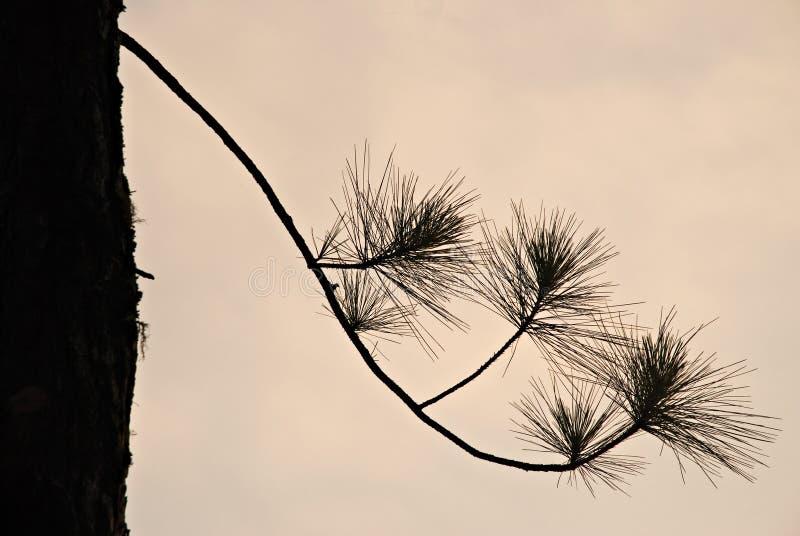 Silueta del árbol de pino imagen de archivo libre de regalías