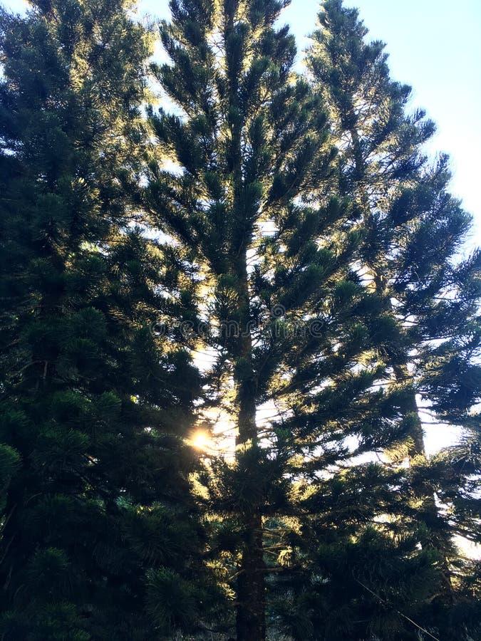 Silueta del árbol de pino bajo el cielo azul y salida del sol foto de archivo