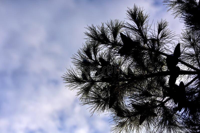 Silueta del árbol de pino en fondo del cielo foto de archivo