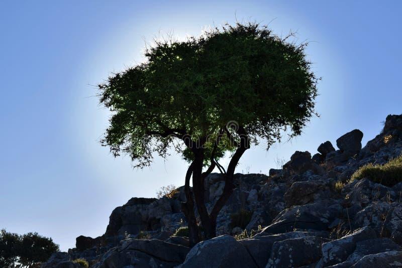 Silueta del árbol del oleve en roca imágenes de archivo libres de regalías