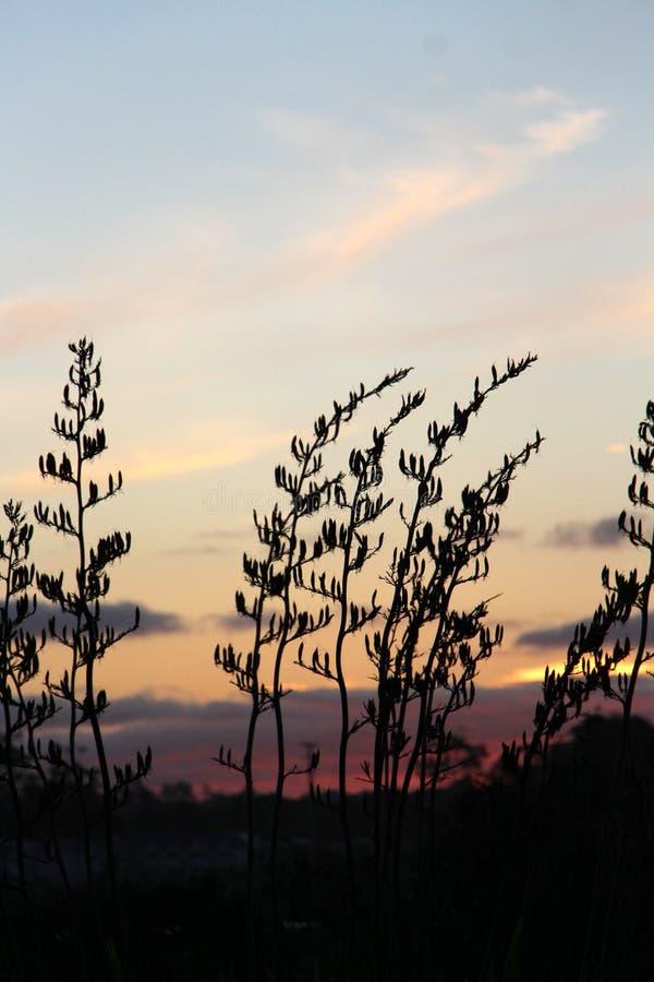 Silueta del arbusto del lino detrás de la puesta del sol de NZ imagen de archivo