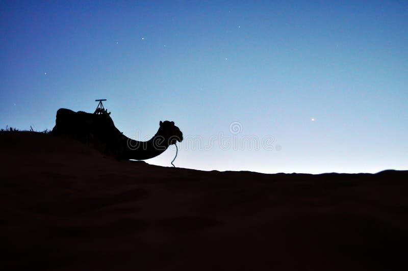 Silueta del camello del desierto imágenes de archivo libres de regalías