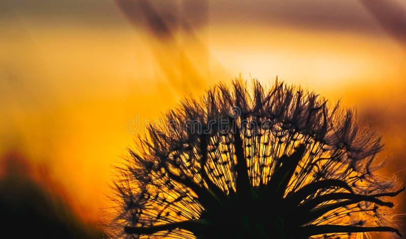 Silueta del diente de león contra puesta del sol fotografía de archivo libre de regalías