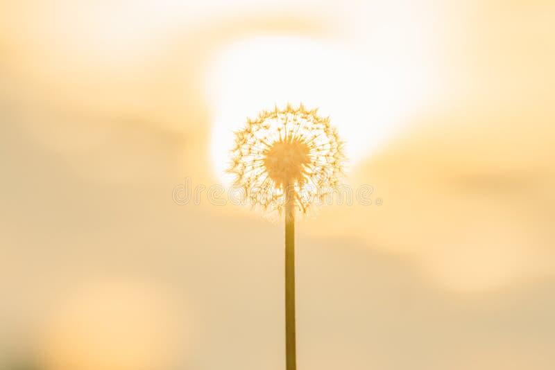 Silueta del diente de león contra puesta del sol fotografía de archivo