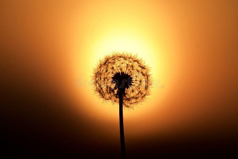 Silueta del diente de león contra una puesta del sol fotos de archivo