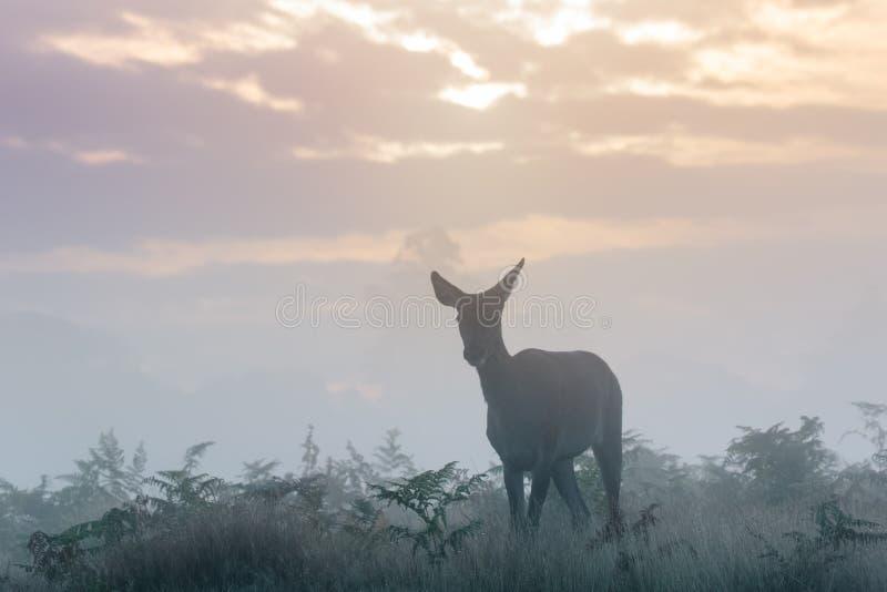 Silueta del elaphus del Cervus de los ciervos comunes trasero o femenino fotos de archivo