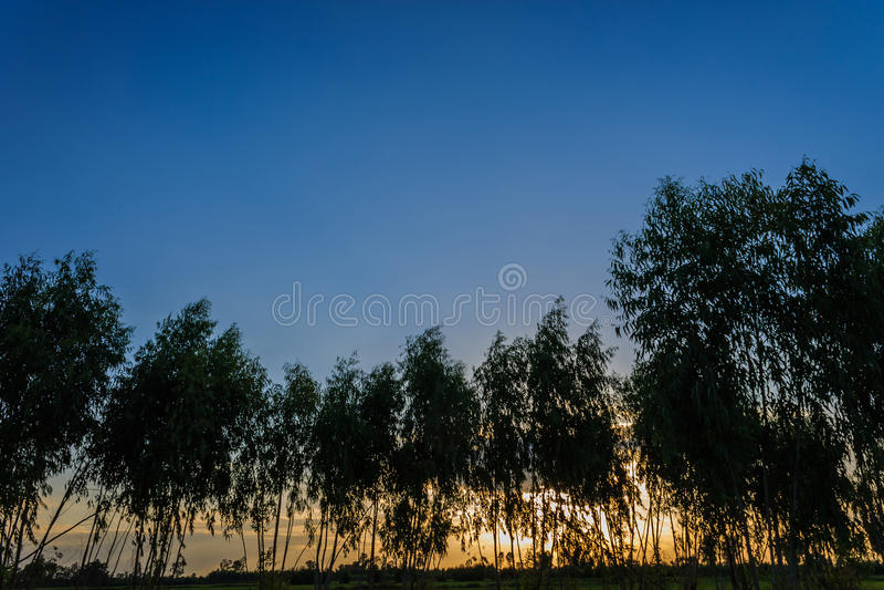 Download Silueta del eucalipto foto de archivo. Imagen de tarde - 42443156