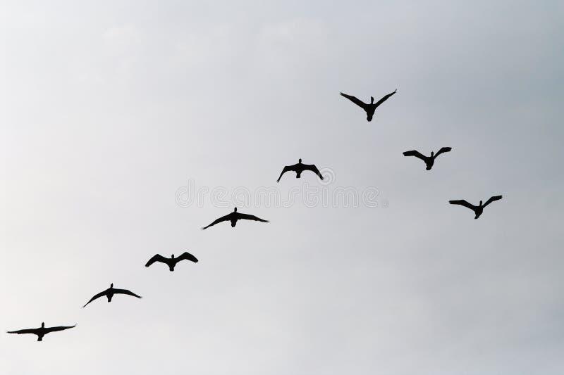 Silueta del grupo del carbón del Phalacrocorax de los cormoranes que vuela arriba para arriba en una formación de V contra el cie fotos de archivo libres de regalías