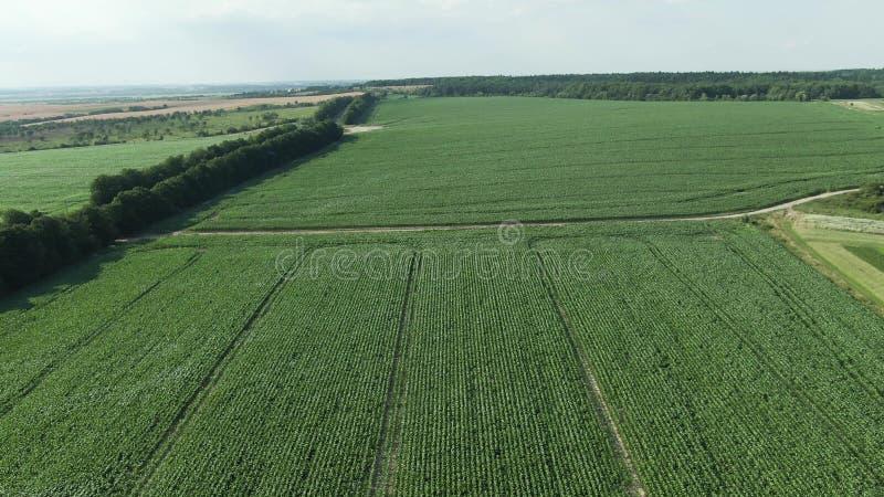 Silueta del hombre de negocios Cowering Vuelo sobre el campo de maíz joven Vuelo para arriba imágenes de archivo libres de regalías