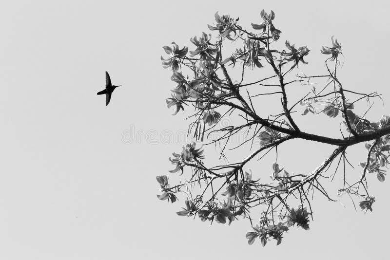 Silueta del jacobin blanco-necked que asoma al lado de la flor, pájaro en vuelo, bosque tropical caribean, Trinidad and Tobago foto de archivo libre de regalías