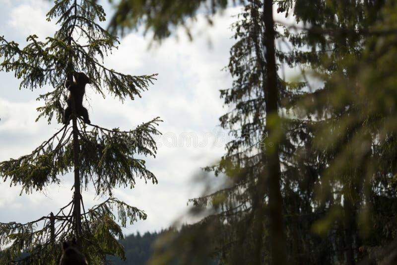 Silueta del oso del bebé en árbol fotos de archivo libres de regalías