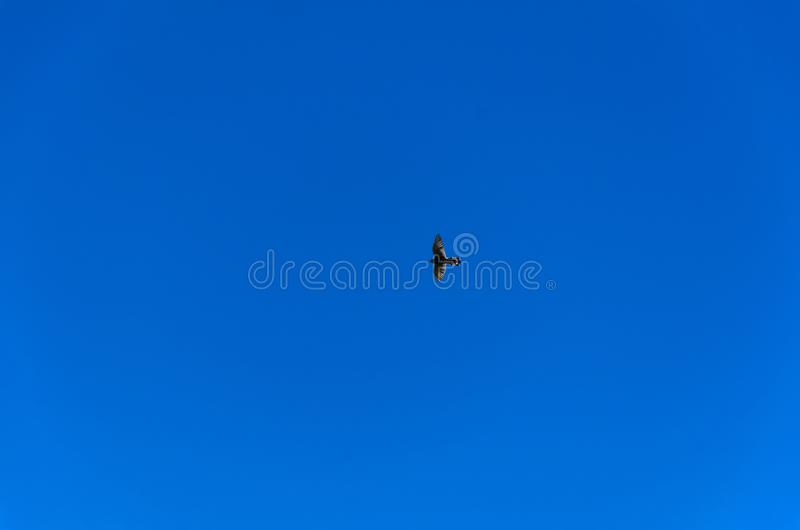 Silueta del tinnunculus del cernícalo o del falco de la caza con la extensión imagenes de archivo