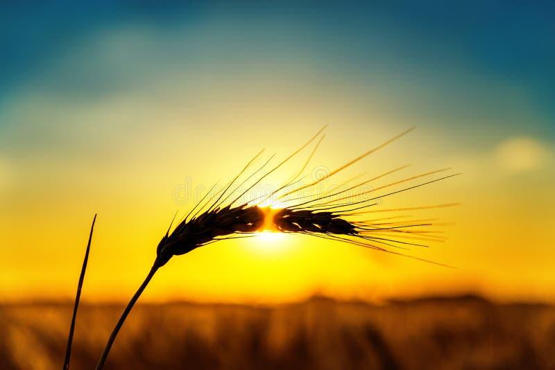 Silueta del trigo maduro en la puesta del sol fotografía de archivo