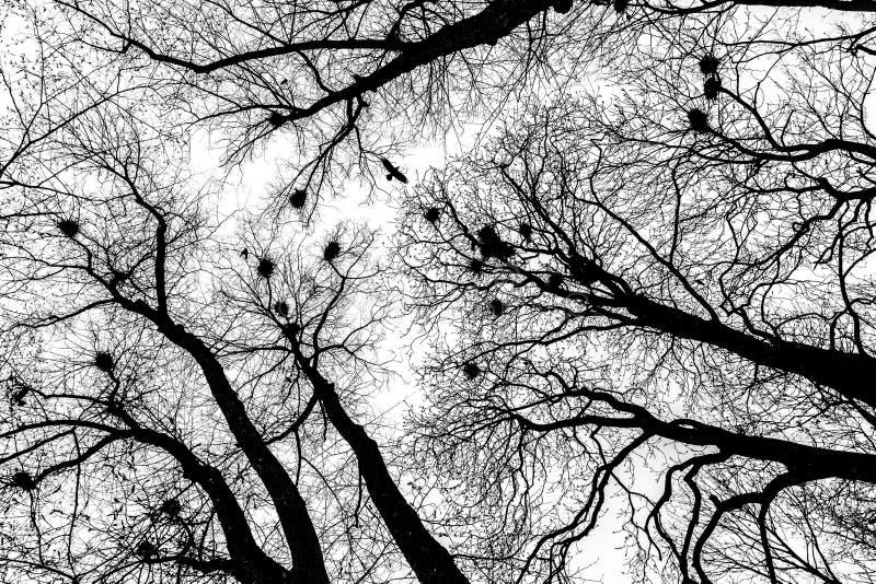 Silueta del vuelo oscuro del cuervo sobre árboles desnudos imagen de archivo