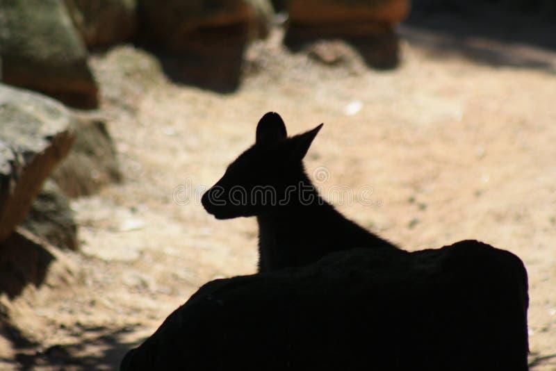 Silueta del Wallaby foto de archivo libre de regalías