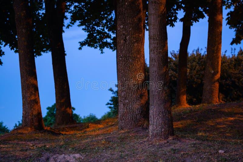 Silueta enorme del tronco de árbol de tilo en azul la hora piloto por las luces de calle Árboles de tilo en la noche en parque pú fotografía de archivo