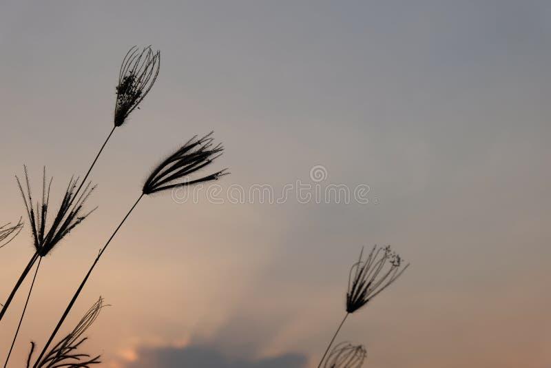 Silueta hermosa de la flor de la hierba en puesta del sol en el fondo crepuscular del tiempo, imágenes de archivo libres de regalías