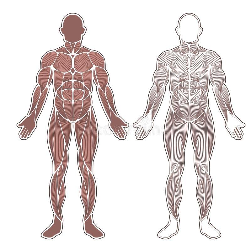 Silueta Humana De Los Músculos Ilustración del Vector - Ilustración ...