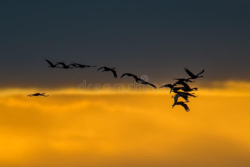 Silueta retroiluminada de las grúas de Sandhill en vuelo con el cielo de oro y las nubes amarillos y anaranjados en la oscuridad/ foto de archivo