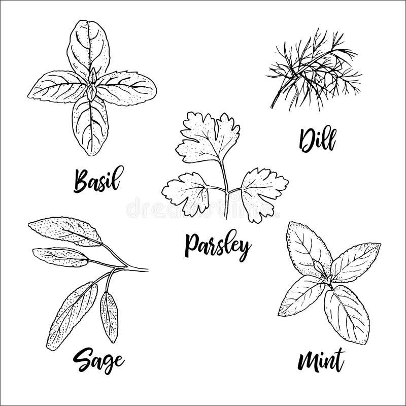 Siluetas culinarias frescas populares de las hierbas Albahaca, menta, sabio, eneldo, perejil Estilo del bosquejo de la pluma de l ilustración del vector
