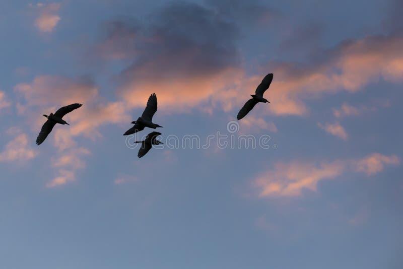 Siluetas de las garcetas en vuelo en la oscuridad con las nubes rosáceas fotografía de archivo libre de regalías