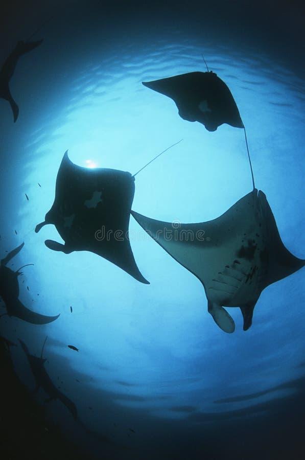 Siluetas de Raja Ampat Indonesia Pacific Ocean de la opinión de ángulo bajo de los rayos de manta (birostris del Manta) fotografía de archivo libre de regalías