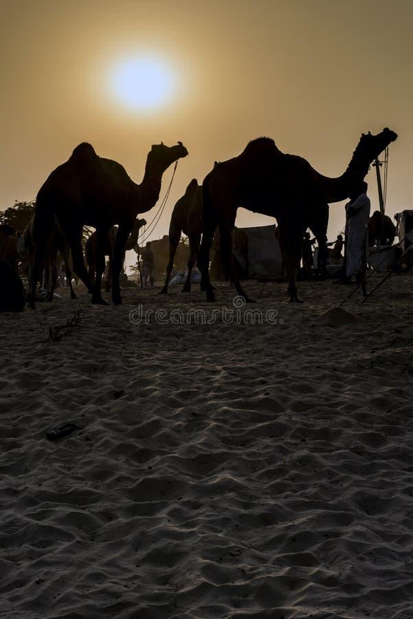 Siluetas del camello en el Pushkar justo en Rajasthán, la India fotografía de archivo libre de regalías
