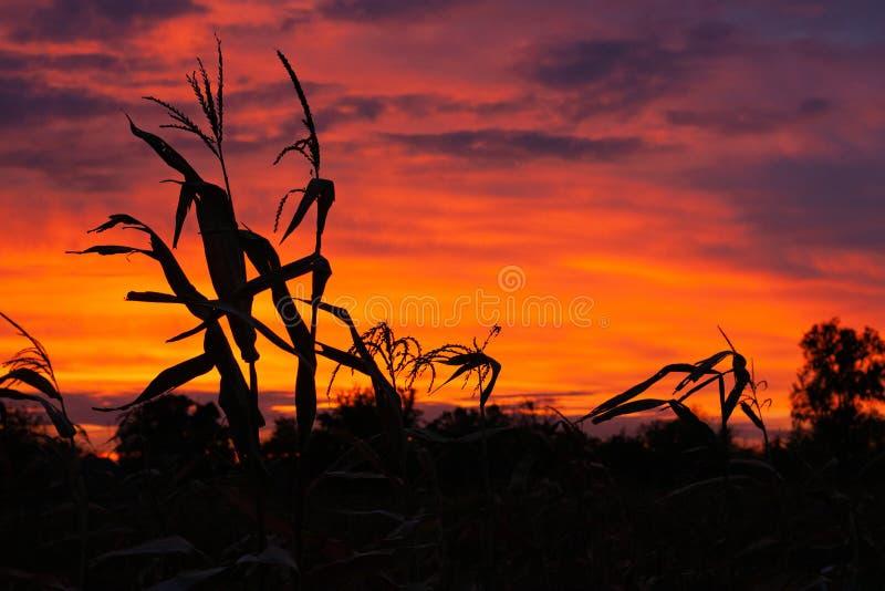 Siluetas del ma?z en el fondo de un cielo hermoso de la puesta del sol foto de archivo