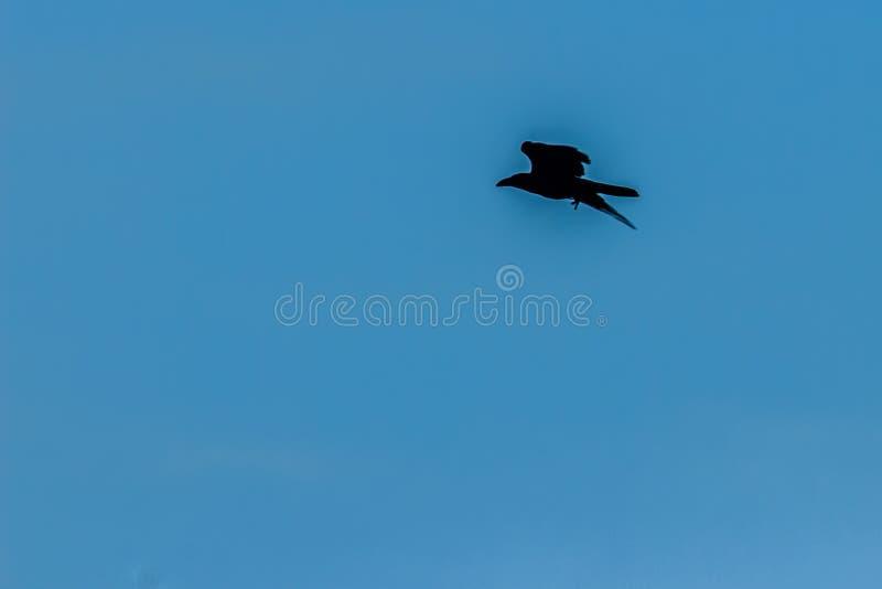 Siluetas del pájaro de vuelo bajo fondo del cielo azul stock de ilustración