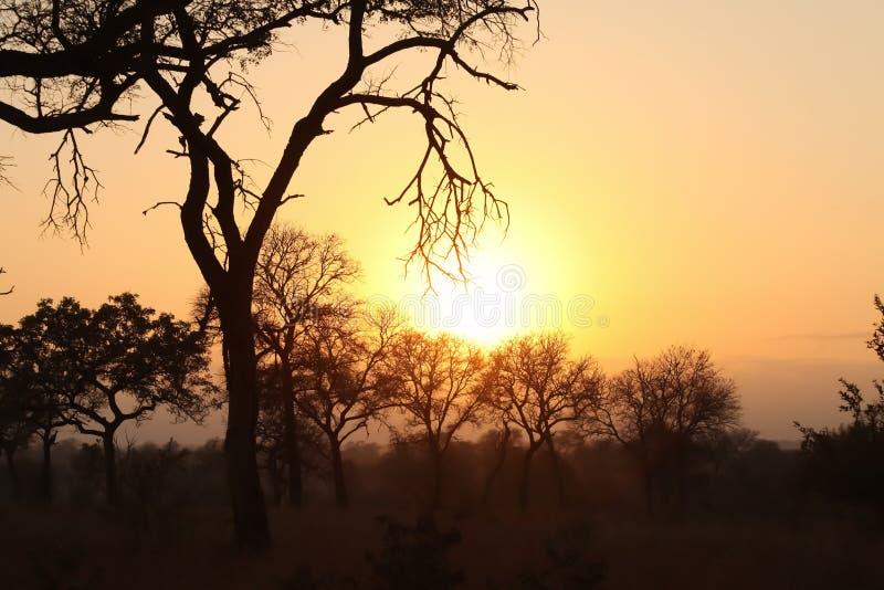 Siluetee el árbol en la puesta del sol en safari en Suráfrica imagen de archivo libre de regalías