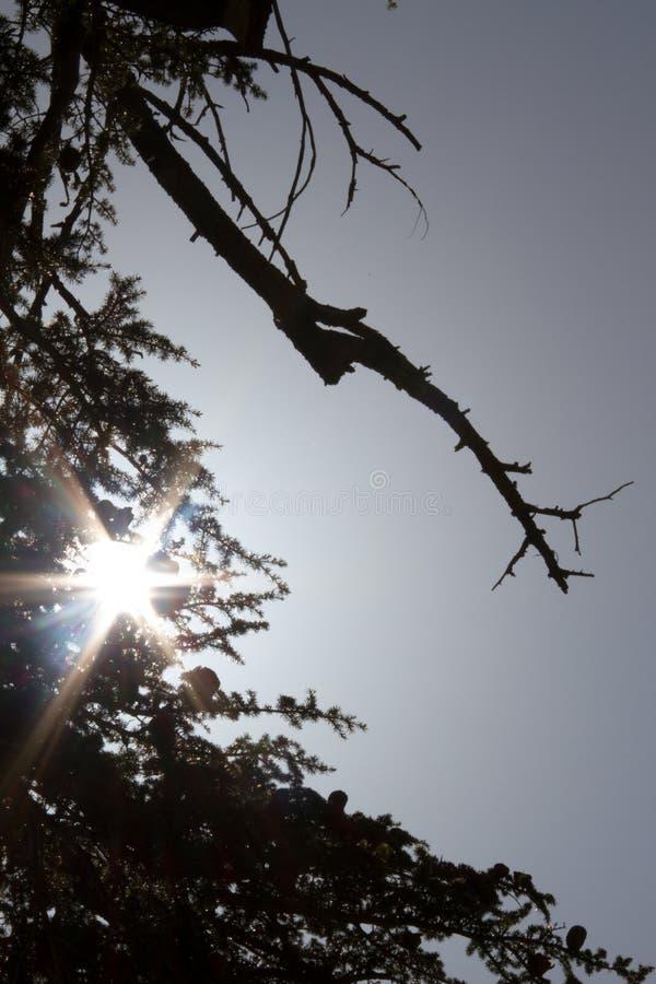 Siluetee las ramas de árboles en bosque del arz en Líbano del norte fotos de archivo