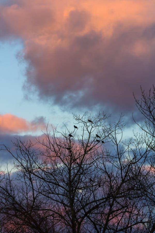 Siluetta degli uccelli sull'albero senza le foglie all'inverno con l'Unione Sovietica immagini stock