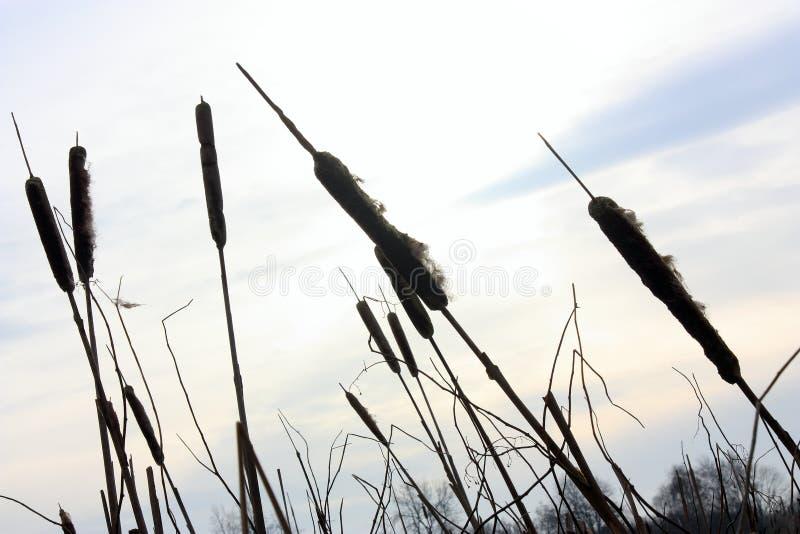 Siluetta dei cattails in lampadina al tramonto fotografia stock